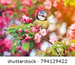 Stock photo bird titmouse sitting in the garden among the flowering branches of pink cherry blossom in spring 794129422