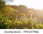 yellow dandelion flower close...   Shutterstock . vector #794147986