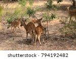 axis deer in yala national park ... | Shutterstock . vector #794192482