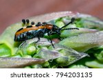 an asparagus beetle on the tip... | Shutterstock . vector #794203135