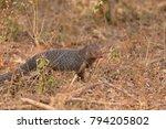 indian mongoose in yala... | Shutterstock . vector #794205802
