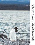 gentoo penguin  pygoscelis... | Shutterstock . vector #794208766