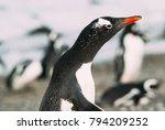 gentoo penguin  pygoscelis... | Shutterstock . vector #794209252