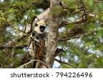 southern hanuman langur in yala ... | Shutterstock . vector #794226496