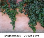 The Green Ivy On A Stone Wall...