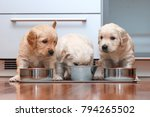 Stock photo puppies eating food in the kitchen like little gourmets 794265502
