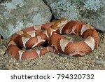 Small photo of Trans-Pecos Copperhead Agkistrodon contortrix pictigaster