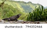 iguana in the forest. cuban... | Shutterstock . vector #794352466