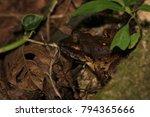 Small photo of Frog (Hylarana sp.) in Gunung Mulu national park, Sarawak, Malaysia