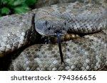 Panamint Rattlesnake Portrait ...