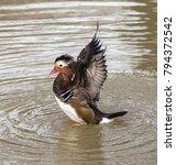 mandarin duck flapping its... | Shutterstock . vector #794372542