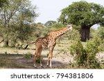 the giraffe  giraffa   genus of ... | Shutterstock . vector #794381806