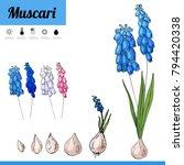 primrose bulbous flower... | Shutterstock .eps vector #794420338