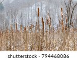 Cattails Stand Tall Among The...
