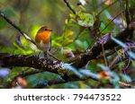 european robin  erithacus... | Shutterstock . vector #794473522