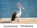 Pelican At The Marina. Full...