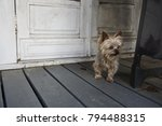 a small brown fluffy dog with a ... | Shutterstock . vector #794488315