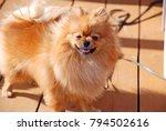 smile of dog pomeranian spitz.... | Shutterstock . vector #794502616
