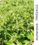 Small photo of Fresh Culantro tree or Long coriander flower stem are growing in the vegetable garden
