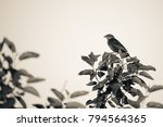 monochrome bird on a branch | Shutterstock . vector #794564365