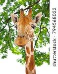 Portrait Of A Curious Giraffe...