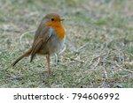 european robin  erithacus... | Shutterstock . vector #794606992
