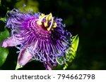 Passion Flower In La Mortella...