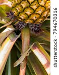 Small photo of Lizard gecko on a branch of a growing pineapple.