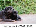 Stock photo new born pug dog playing with mama pug dog 794711308