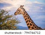 male giraffe eating acacia... | Shutterstock . vector #794766712