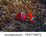 Clown Fish In Actinia. Orange...