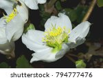 black hellebore also known as...   Shutterstock . vector #794777476