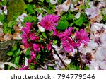 Small photo of Red Lewisia Flowers