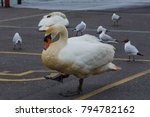 Cute White Swan And Seagulls