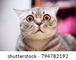 Stock photo young crazy surprised cat make big eyes closeup american shorthair surprised cat or kitten funny 794782192