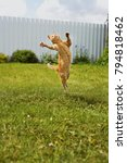 Stock photo ginger cat in a jump or dancing on grass the cat is engaged in fitness 794818462