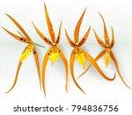 orchid flowers brassada orange... | Shutterstock .eps vector #794836756