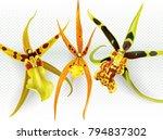 brassada banfieldara aliceara... | Shutterstock .eps vector #794837302