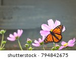 Stock photo monarch butterfly on a cosmos flower retro style background 794842675