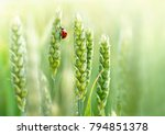 young juicy fresh green wheat... | Shutterstock . vector #794851378