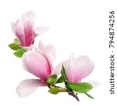 Small photo of a branch of tender spring pink flower primrose magnolia isolated on white background