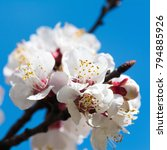 blooming apricot branch in... | Shutterstock . vector #794885926