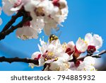 blooming apricot branch in... | Shutterstock . vector #794885932