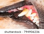 tartar in dogs  dental disease  ... | Shutterstock . vector #794906236