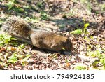 Red Bellied Tree Squirrel...