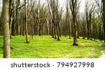 trees in a green forest in... | Shutterstock . vector #794927998