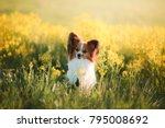 dog papillon on in a field of... | Shutterstock . vector #795008692