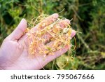 Small photo of Fresh dodder / herbal background material