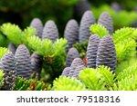 Cones Of Korean Fir   Abies...