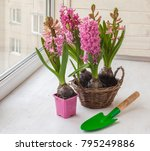 pink hyacinths with forced... | Shutterstock . vector #795249886